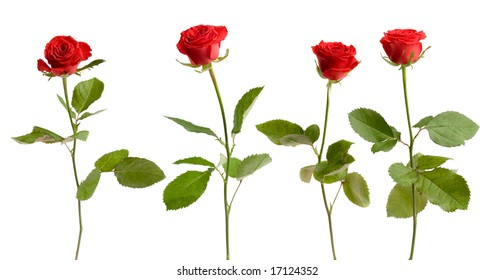 Four red roses on white isolated background