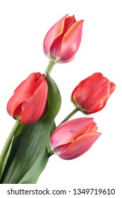 Four red tulips isolated on a white background