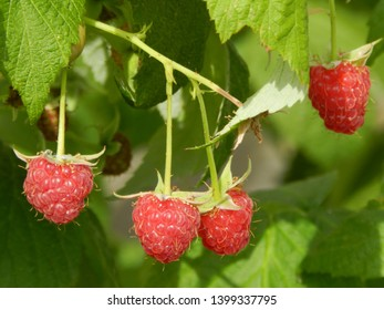 four ripe raspberries on a branch