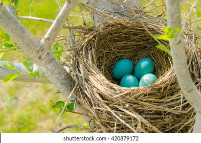 Four robin's eggs in a nest outdoors heralds the arrival of spring