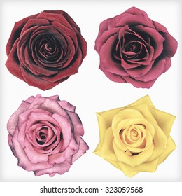Four Rose Flowers Isolated on White Background. Flowers are in a shabby sheek vintage and retro style.