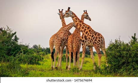 four Rothschild Giraffe (Giraffa camelopardis rothschildi) standing tall in Murchison Falls NP, Uganda
