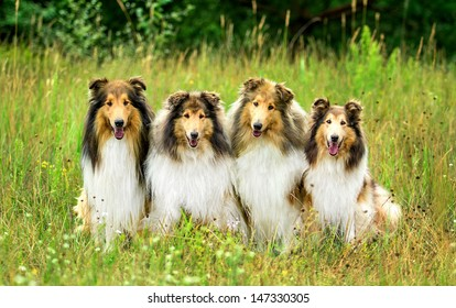 Four rough collies sitting on the grass