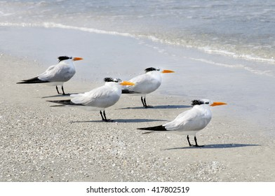 Four royal terns on the beach looking out to sea.