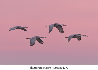 Four sandhill cranes flying against a pink sky at sunset at the Bosque del Apache National Wildlife Refuge in New Mexico
