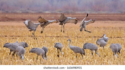four sandhill cranes  on approach for landing in a corn field in their winter habitat of bernardo state wildlife refuge near socorro, new mexico