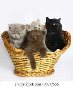Four Scottish kitten in a basket.