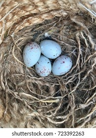 four Seagull eggs in a nest