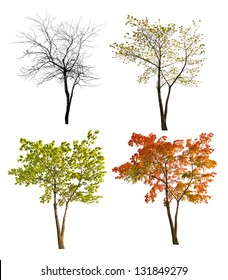four seasons maple tree isolated on white background