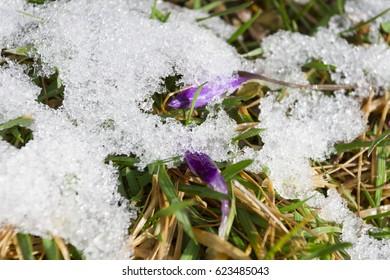 four seasons snow grass purple flowers