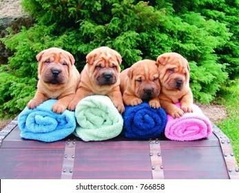 Four sharpei puppies