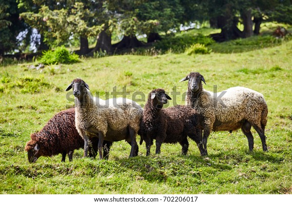 Four sheep feed on farm pastures in the summer.