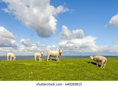 Four sheep on a dike next to a Dutch estuary on a cloudy day in springtime. Three sheep look curiously at the photographer while a lamb is grazing quietly.