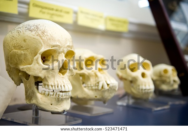 Four skulls in a raw showing humans evolution. Human evolution is the evolutionary process that led to the emergence of anatomically modern humans.