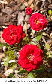 Four small red roses with blurry background