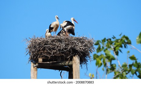 four small storks trying not to fall from the small nest accompanied by their parent in the lake of ivars and vila sana under the blue sky, black and white color, lerida, spain, europe