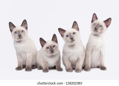 four small thai kittens on white background