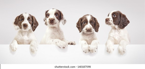 Four spaniel puppies on a grey background