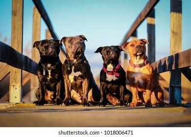 Four Staffordshire bull terrier