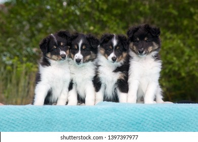 Four stunning smart nice fluffy black  sable white shetland sheepdog, sheltie sitting on a table together on a sunny day. Small, little collie dog, lassie portrait in summer time with green background