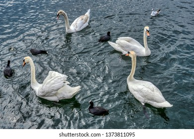 Four swans and four coots on lake Zurich
