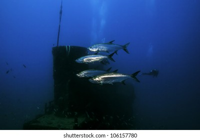 Four Tarpon swimming in front the smokestack on the USCG Duane in Key Largo, Florida