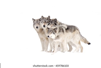Four Timber wolves or grey wolves Canis lupus timber wolf pack isolated on white background standing in the falling snow in Canada