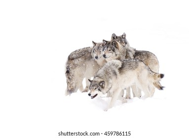 Four Timber wolves or grey wolves Canis lupus isolated on white background, timber wolf pack standing in the falling snow in Canada