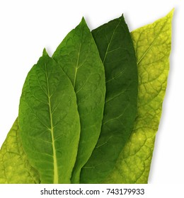 Four tobacco leaves of different ripeness isolated on white