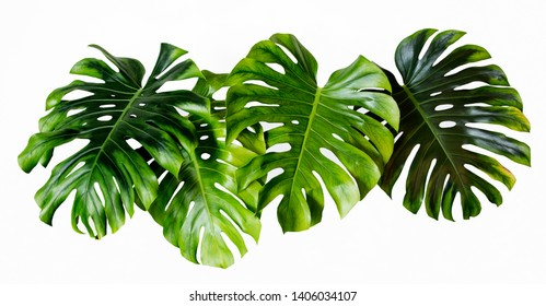 Four Tropical jungle Monstera leaves isolated, Swiss Cheese Plant, isolated on white background
