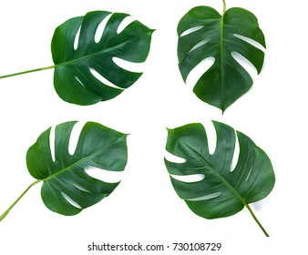 Four Tropical jungle Monstera leaves isolated on white background, swiss cheese plant. Top view with copy space.