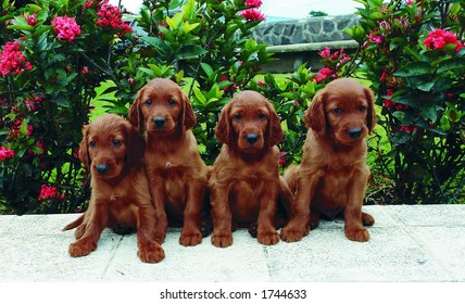 Four two months old pure breed red irish setter puppies posing in a row