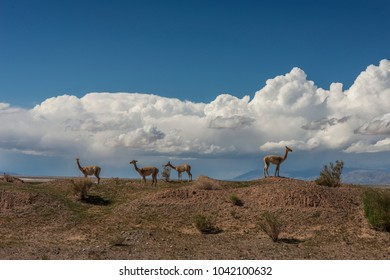 four vicunas in the desert, mountains in the background and beautiful clouds