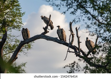 Four vultures sitting on a branch in Africa