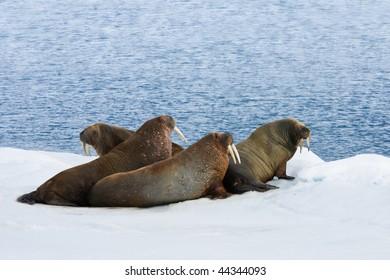 Four walrus lying on the snow.  Horizontally framed shot.