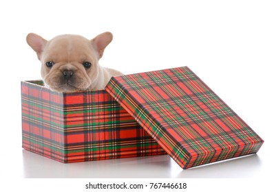 four week old french bulldog in a christmas box on white background
