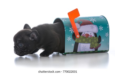 four week old french bulldog inside a christmas mailbox on white background