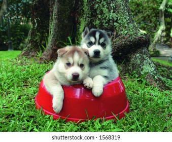 Four weeks old pure breed Siberian husky  puppies in a food bowl