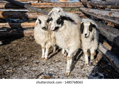 Four white and black mongolian sheep in small wooden barn near fence