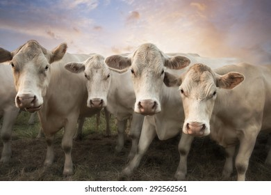 Four white cows in a row posing in front of the camera with blue, purple, pink and orange sky