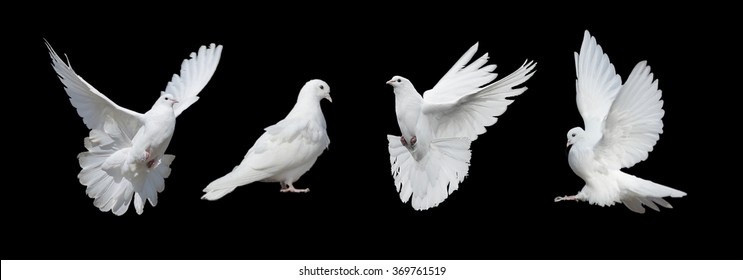 Four white doves  isolated on a black background