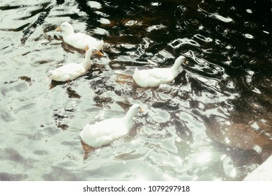 Four white ducks swimming in a lake at sunrise.