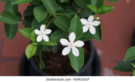 Four White Gardenia flowers with green leaves in the black flowerpot and red blurred background