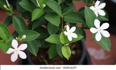 Four White Gardenia Pitchaya flowers with green leaves in the black flowerpot and red blurred background