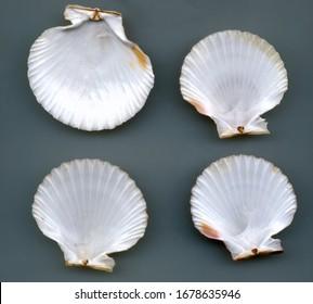 four white sea shells nacar