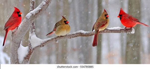 Four winter Northern Cardinals (Cardinalis cardinalis) on a snowy branch.