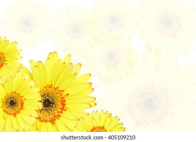 four yellow gerbera flower isolated on white  background