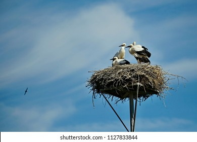 Four young black and white storks standing on nest made of little twigs, placed on metal pad, sunny sumer day, clear blue sky, watching a house martin flying