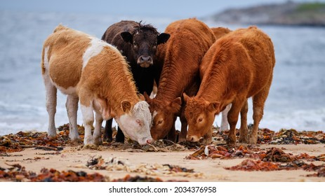 Four young cows on Brora beach eating seaweed