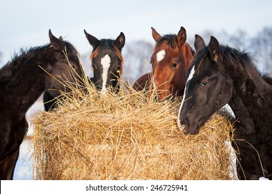 Four young horses eating hay outdoors